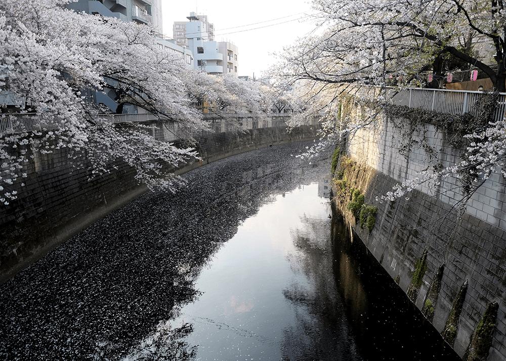神田川桜並木/江戸川公園
